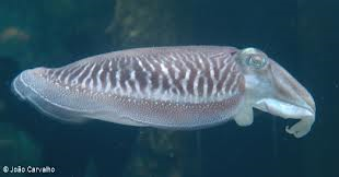 An example of a cuttlefish, although it is not the one that I saw.