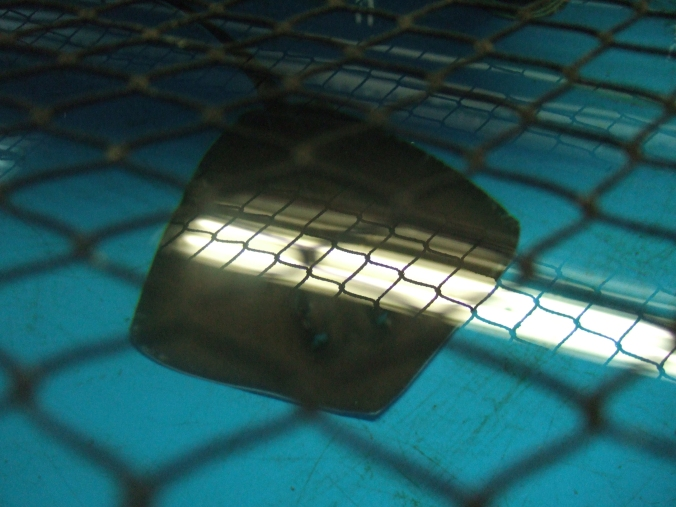 A Thornback Ray being kept in the backroom tanks at London Aquarium.