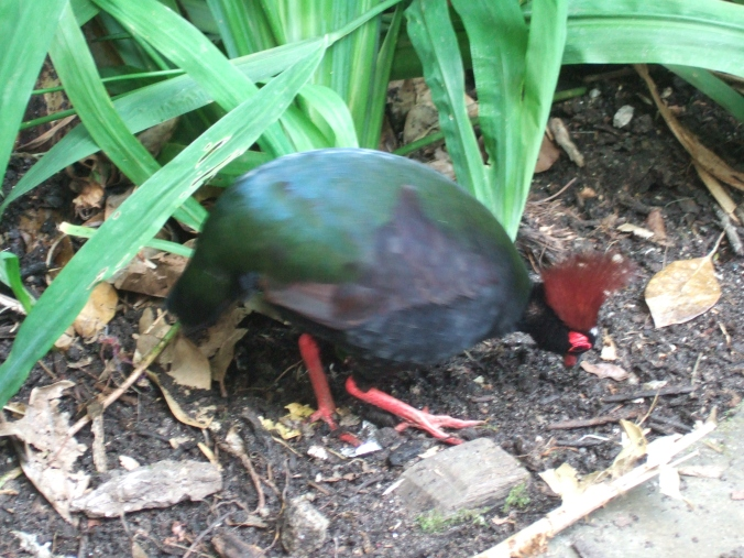 A crested partridge, or roul roul, pecks around for small insects.