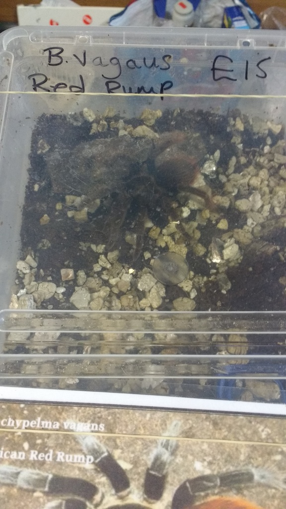 A Red Rump Tarantula in a box at the Trade Fair.