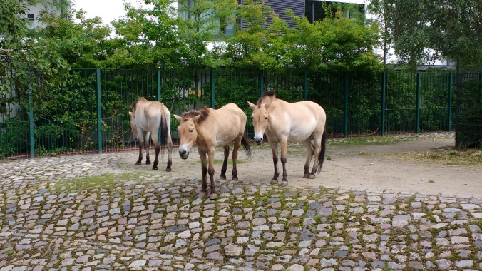 A small herd of horses on the Zoo's cobbles.