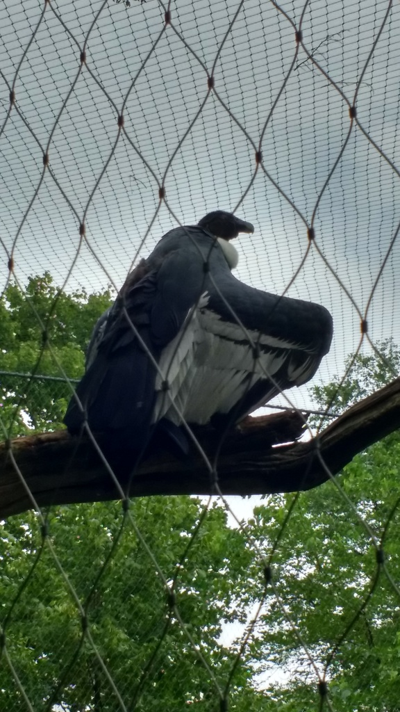 A female condor sitting in Berlin Zoo.